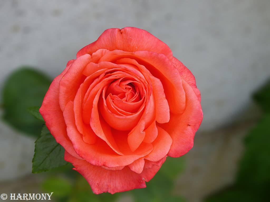 Rose saumon orange.-