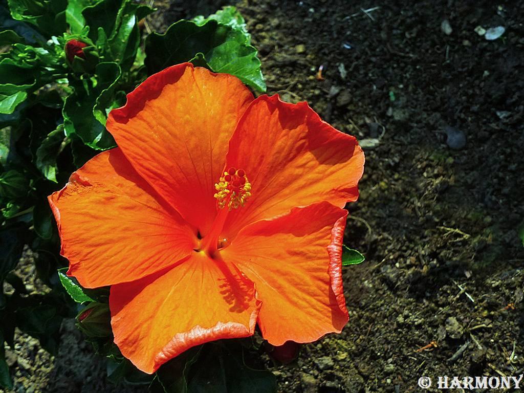 Hibiscus 2.-