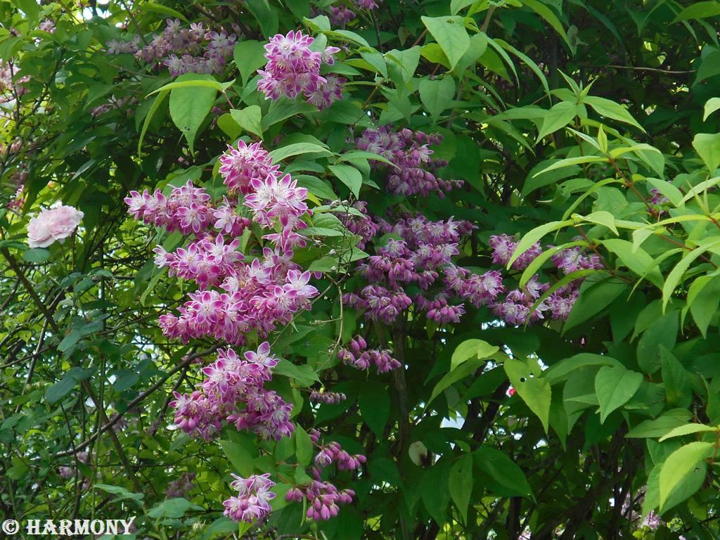 Deutzia longifolia Veitchii