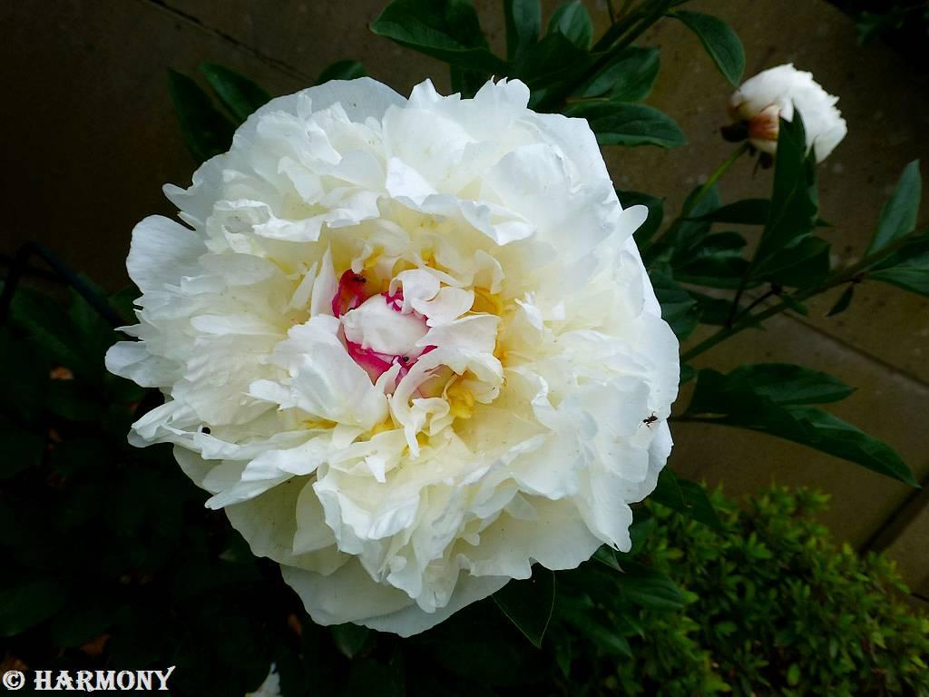 Pivoine blanche coeur rubis.-