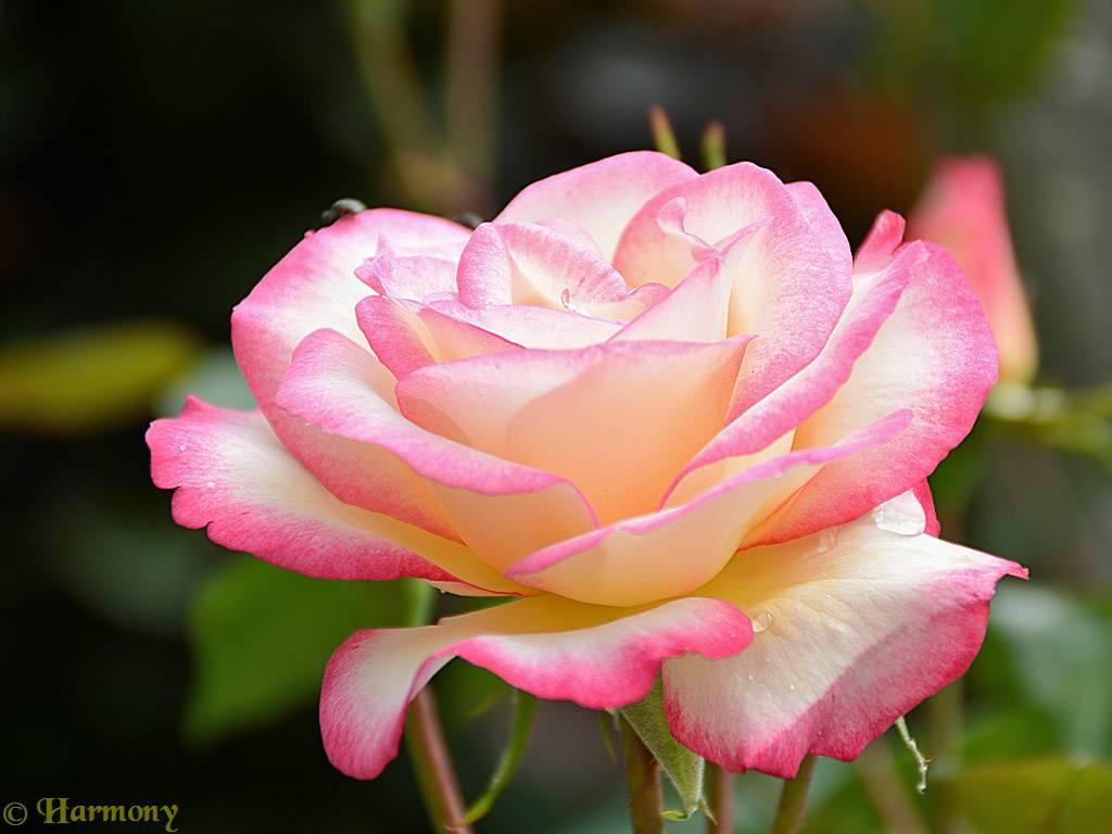Fleurs et deco jardin essentiellement nature for Decoration jardin rosier