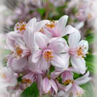 "DEUTZIA ""MONT ROSE"""